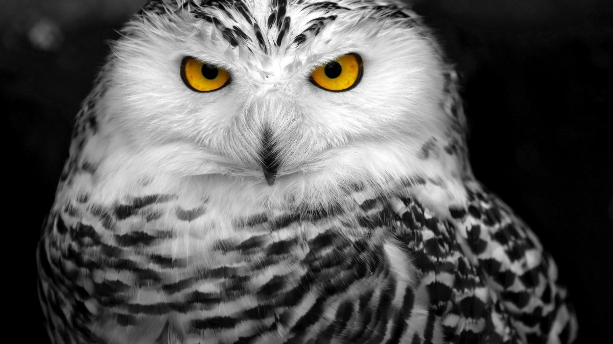Snowy-Owl-HD-Wallpapers