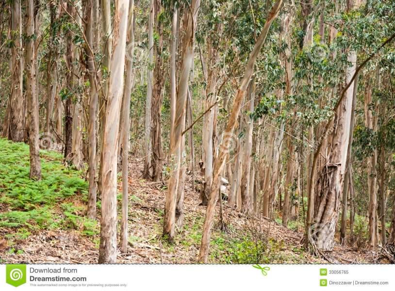 bosque-de-eucaliptus-en-el-parque-natural-de-la-isla-de-cies-galicia-33056765