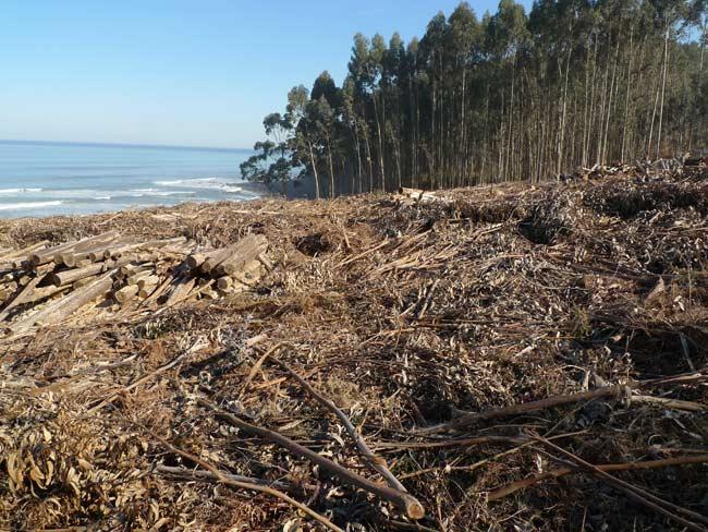 Galiza, incendios: La Xunta admite que en As Fragas do Eume han ardido 750 hectáreas.  - Página 5 Eucaliptoasturias01