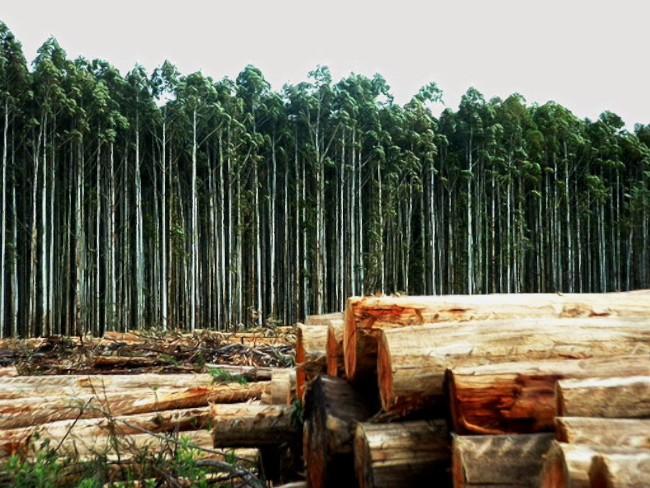 """A Universidade de Vigo ten calculado que para obter 50MW de electricidade con biomasa precisaríanse anualmente medio millón de toneladas de madeira, un """"DELIRIO de Ence para a Ría de Pontevedra co permiso do PPdeG"""""""